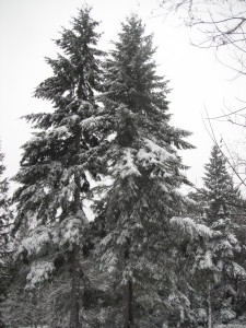 Douglas Fir in winter