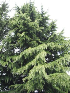 True Cedars have needles.