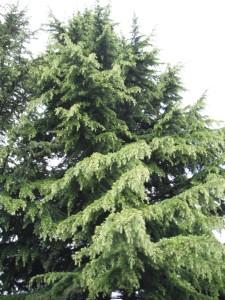 True Cedars have needles.