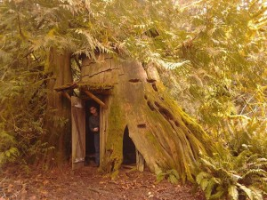 Western Red Cedar stumphouse at Guillemot Cove Nature Preserve in Seabeck