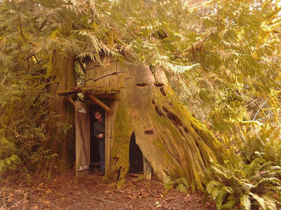 Western Red Cedar ~ Western red cedar thuja plicata native plants pnw