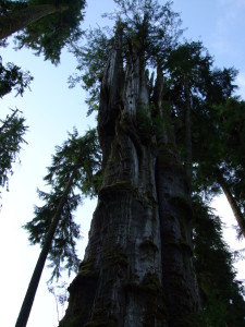 The largest Western Red Cedar is near Lake Quinault in the Olympic Rainforest. Only about a 2 foot wide strip is still alive.