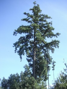 Douglas Fir tree, Pseudotsuga menzisii