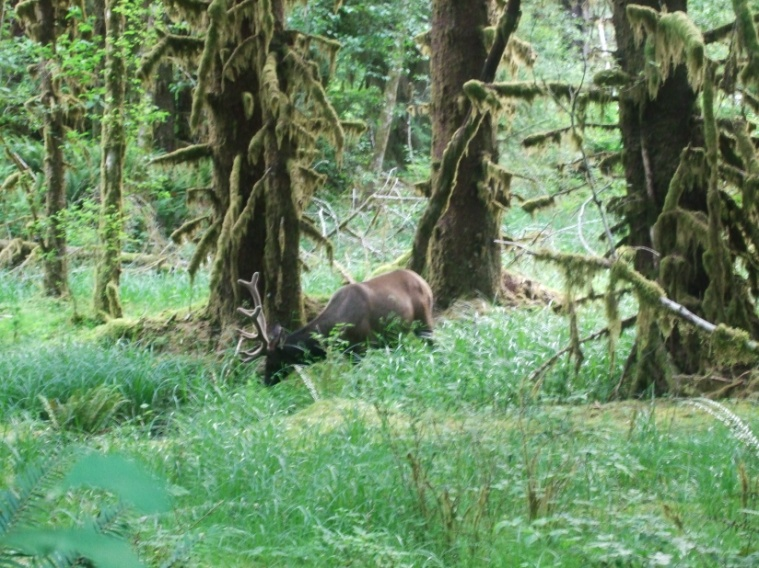 Elk in the Olympic Rainforest