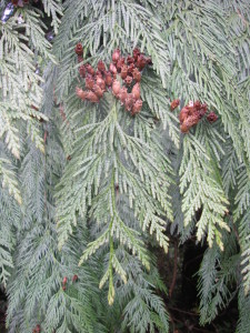 Persistent woody cones of Western Red Cedar