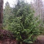 Western Red Cedar, Thuja plicata