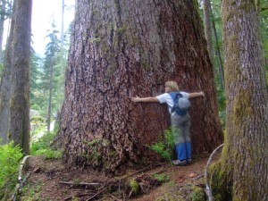 Old Growth Douglas Fir in the Olympic Rainforest