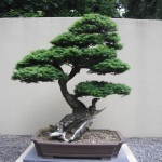 A bonsai of Western Hemlock at the Pacific Rim Bonsai Collection in Federal Way