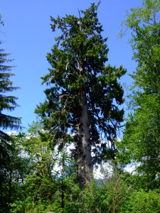The Largest Sitka Spruce near Lake Quinault.