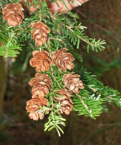 Western Hemlock cones