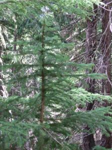 Picea sitchensis, Sitka Spruce