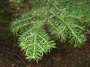 Needles of Mountain Hemlock.