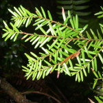 Tsuga heterophylla needles