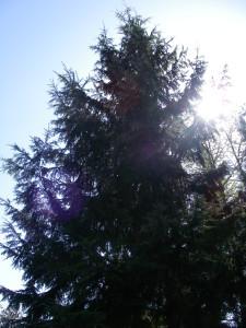 Tsuga heterophylla, Western Hemlock