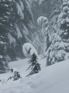 Mountain hemlocks bend down under the weight of the snow.