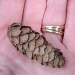 Picea engelmannii cone