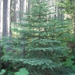 Picea engelmannii tree