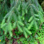 Picea sitchensis branches