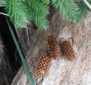 Sitka Spruce cones