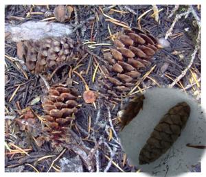 Mountain Hemlock cones