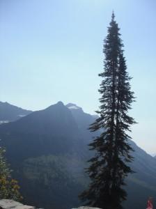 Engelmann Spruce, Glacier National Park