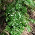 Abies amabilis branch