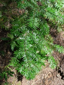 Abies amabilis branch