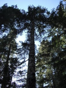 A mature Pacific Silver Fir in the Olympic National Forest.