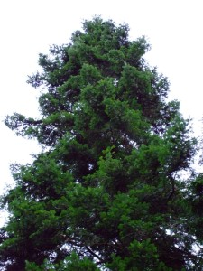 Grand Fir, Abies grandis
