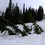 Abies lasiocarpa bent trees