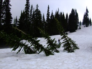Young Subalpine Fir trees will actually bend down under the snow and spring up again after the snow melts in summer.