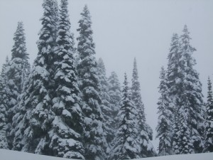 The tall spire-like growth of Subalpine Fir is an adaptation to withstand heavy snowfall.