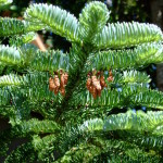 male cones on Abies procera