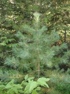 Pinus monticola tree