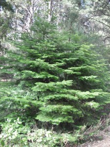 Small Grand Fir Abies grandis