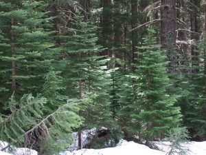 Subalpine fir drift