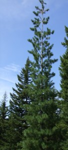 Western White Pine tall tree