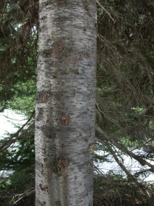 The bark of Subalpine Fir