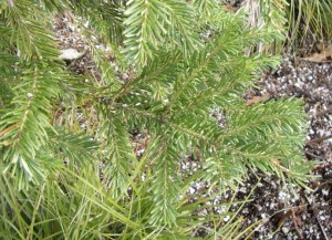 abies lasiocarpa branches