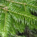 grand fir branchlets