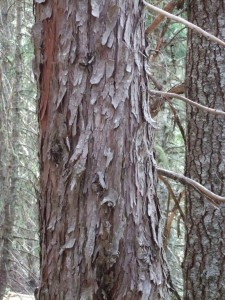 The shaggy bark of Alaska Cedar