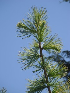 Larix occidentalis needles