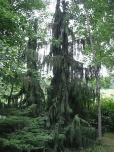 Natural Alaska Cedar