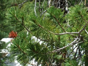 Pinus contorta branches