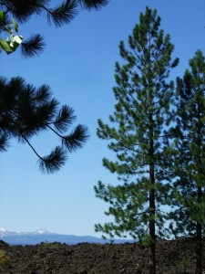 Pinus ponderosa mountain scene