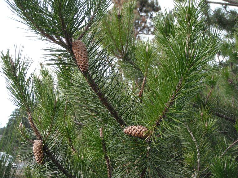 Shore Pine  Pinus Contorta