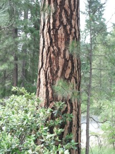 Ponderosa Pine Barks
