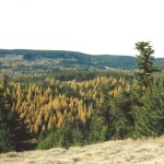 Western Larch Fall Color