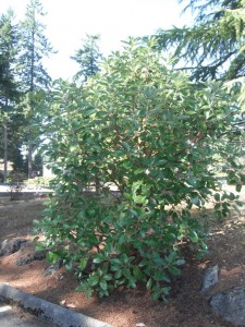 Arbutus menziesii bush