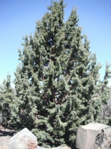 Rock Mountain Juniper in Vantage, Washington